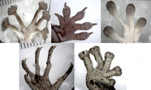 Photographs of five different types of gecko toe pads
