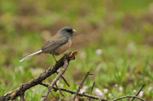 photo of dark-eyed junco