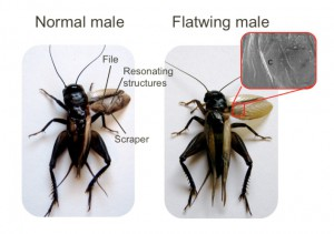 Photos of normal and flatwing males