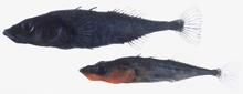 Two species of threespine stickleback fish: a benthic male (top) and a limnetic male (bottom). Photo credit: J. Boughman.