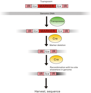 "Figure 1. Making genomic libraries.  Lox sites are represented by arrows.  IRs (inverted repeats) are DNA sequences that mark off a transposon (which requires a ""transposase"" to move around).  The marker is an antibiotic resistance gene that allows us to kill any cells that don't insert the transposon into their genomes.  When the Cre protein comes in, it deletes the marker between the lox sites and causes a rearrangement with a lox site elsewhere in the genome (represented by grey color-coded DNA being replaced by black color-coded DNA on one side)."