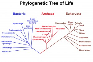 A phylogenetic hypothesis depicting the evolutionary relatedness within and among Bacteria, Archaea, and Eukaryota.
