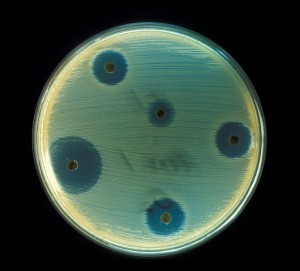 Paper filter disks saturated with antibiotics cause growth inhibition on a plate spread with the bacterium Staphylococcus aureus. Image from phil.cdc.gov.
