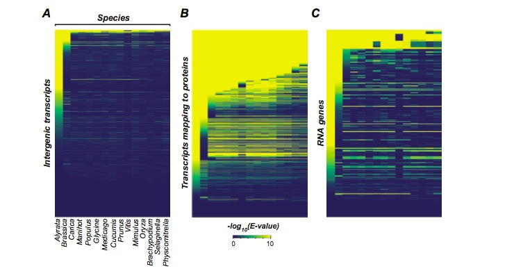 Conservation of intergenic transcripts (A) compared to transcripts mapping to protein-coding genes (B) and RNA genes (C). X-axis represents genomes of different plant species and each row on Y-axis represents an individual feature. The color shades indicate the significance of the BLAST hit of the feature in the corresponding plant genome, with yellow being higher significance. This figure shows that intergenic transcripts are rapidly lost through evolutionary time, at a faster rate than transcripts mapping to protein-coding genes and RNA genes.