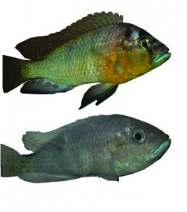 Figure 2: A. burtoni can be either dominant or subordinate and can transition back and forth between these phenotypes.