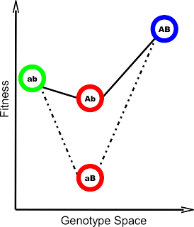 Figure 1: An example of the two mutation system described above (From Covert et al 2013). Both mutations A and B individually are deleterious, but A and B together are extremely beneficial.