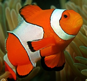 Clown fish exhibit station keeping against ocean currents while staying close to sea anemones for food and protection.