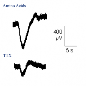 Electro-olfactogram recording of newt olfactory neurons in the nose. Electrical response to positive control amino acid solution (top) and TTX (bottom).