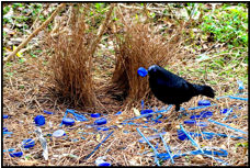 The male bowerbird builds elaborate structures to  attract females. Photo from mudbayworldwonders.blogspot.com.