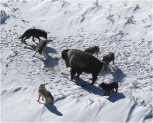 A wolf pack hunting as a group. (Source: Doug Smith; Wikipedia)
