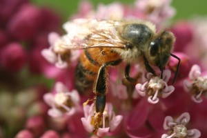 Honeybee with pollinia on its legs on A. incarnata (swamp milkweed) flowers.