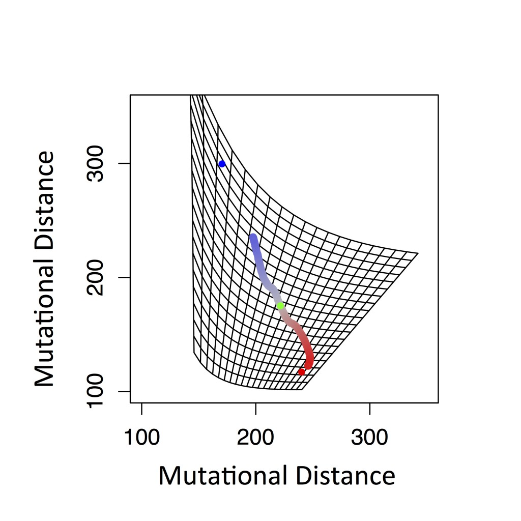 "Figure 2: Single simulation run for the negative feedback loop drawn in ""mutational space"". In phenotypic space each polygon would be a square with equal area. Note that the blue and red dots are equidistant from the starting point in phenotypic space (Figure 1F) but the blue dot appears farther than the red in this rescaled mutational landscape."