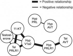 Covariance network. This network shows the relationship between the androgens testosterone and 11-ketotestosterone (11-KT) and gene expression in the telencephalon (TEL) and hypothalamus (HYP) across all individuals in the analysis.