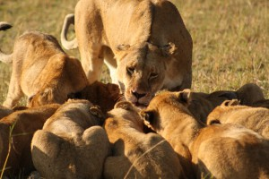 The African lion (Panthera leo) lives communally in prides of 2-18 females (Schaller 1972). Of 37 species of extant cats, the lion is the only species that is truly gregarious.  Here, cubs from multiple mothers feed on a kill made by one of the pride's lioness. Photo taken by Aurelia DeNasha.