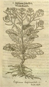 A page from The Herball of Generall Historie of Plantes, by John Norton (1957) - one of the earliest references to weedy radish.