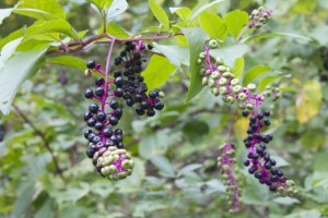 Phytolacca americana (pokeweed) fruits