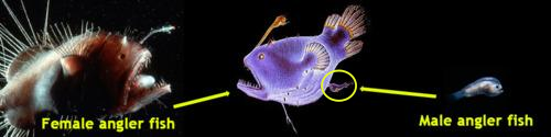 Female and male anglerfish