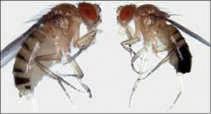 Sexual size dimorphism in Drosophila melanogaster. Females (left) are larger than males (right)