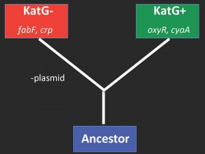 Family tree of genes that mutated in more than one of the three evolved populations.