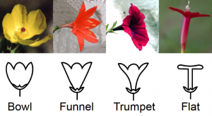 Some of the variation in flower shape in nature.  Adapted from http://theseedsite.co.uk/flowershapes.html