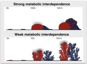 Figure 1. Simulation of a two species community where species are engaged in a food for detoxification metabolic interaction. While strong metabolic interdependence drives species mixing, weak metabolic interdependence drives species segregation.