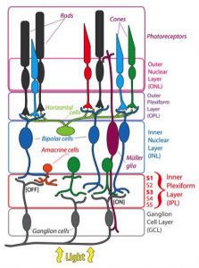 Figure 1. The cells and layers of the retina