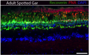 Figure 3. Spotted Gar retina section stained with Recoverin (photoreceptors), PNA (cone pedicles), and DAPI (nuclear stain). Retina structure is conserved compared to zebrafish and mammals. Scale bar is 20 um.