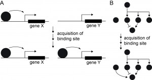 Figure 1. Evolution of cis regulatory interactions through changes in DNA elements. (A) A transcriptional regulator normally regulating gene X may be recruited to an additional target gene Y by acquisition of a new binding site. (B) Interposing a new genetic link by such a modification can reconfigure a gene regulatory network (GRN).