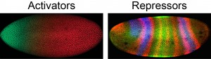 Figure 2. Patterning of the early Drosophila embryo is driven by spatially distinct expression patterns of transcriptional activators and repressors, including Hairy, which is expressed in transverse stripes.