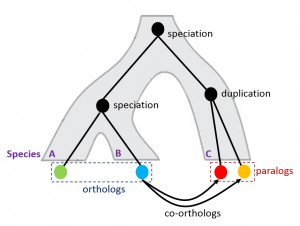 Illustration of orthologs and paralogs.