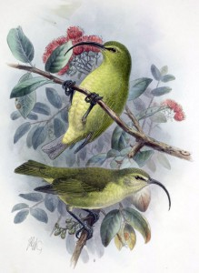 A male and female Lesser ʻakialoa (Hemignathus obscurus), last seen in the year of Fantasia's theatrical premier (1940). This species is one of several dozen endemic Pacific songbirds driven to extinction by introduced predators and other anthropogenic stressors. Image source: Walter Rothschild. The Avifauna of Laysan and the neighbouring islands with a complete history to date of the birds of the Hawaiian possession. London: R.H. Porter, 1893-1900).