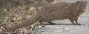 A native of Southern Asia, the small Asian mongoose (Herpestes javanicus) was introduced to Pacific and Caribbean islands in a misguided effort to control invasive rats. Image modified from Wikipedia.