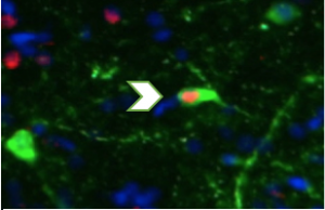The arrow shows an 'active' dopamine neuron, a method I use in A. burtoni to investigate the role of the reward system in cooperative behavior.