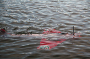 The robotic fish GRACE sampling water columns for temperature and harmful algal blooms autonomously.