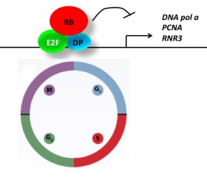 A canonical model for Rb-E2F pathway. Rb proteins interact with E2F and DP, and repress target gene expression, such as cell cycle related genes.