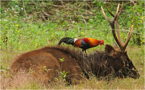 Figure 3.  Red Junglefowl (Gallus gallus) eating ectoparasites from a sambar deer (Rusa unicolor). Photo courtesy of Tontantravel.