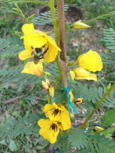 A bumblebee pollinating a partridge pea.