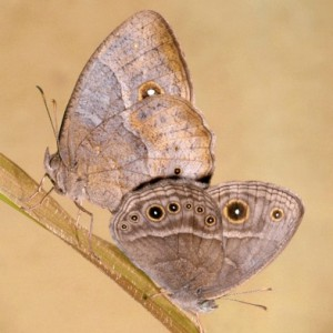 Photo credit: Antónia Monteiro. Bicyclus anynana wet and dry season form mating. The wet season form has conspicuous eyespots and a pale band on its wings, while the dry season form has cryptic coloration and reduced eyespots.