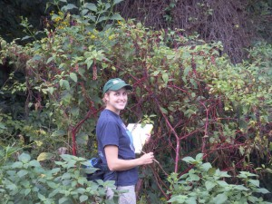 In my native habitat, looking for caterpillars on pokeweed plants.