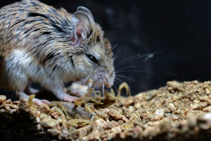 Grasshopper mouse hunting a scorpion. Photo by Dr. Matt Rowe
