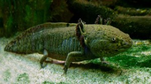 "Axolotl, also known as Mexican Salamander.  Image Credit: ""Axolotl ganz"" by LoKiLeCh - Own work. Licensed under CC BY-SA 3.0 via Commons https://commons.wikimedia.org/wiki/File:Axolotl_ganz.jpg#/media/File:Axolotl_ganz.jpg"